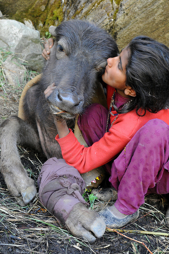 Bashi comforts a buffalo yearling whose front leg was broken when it was hit by a falling tree that was washed over a cliff during a massive storm in the Himalayas.