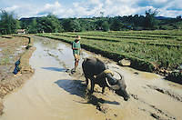 Philippines. Negros Island. Province of Negros Occidental, located in the  Western Visayas region. Barangay (village) Capanuyan. A farmer and his buffalo, both in the brown water,  are preparing the fields to plant organic rice. Rice growing. Terrace cultivation. Sustainable agriculture.  © 1999 Didier Ruef