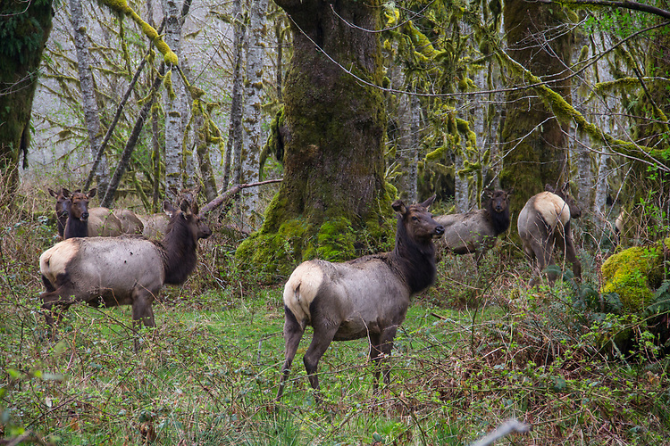 Hoh River, Hoh River Trust, The Nature Conservancy, TNC, Roosevelt Elk, (Cervus canadensis roosevelti), spring, 2017, Olympic Peninsula, Washington State, Pacific Northwest, USA,