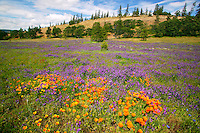Wildflowers along the Historic Columbia River Highway, Columbia River Gorge National Scenic Area, Oregon