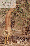 A male gerenuk ,Litocranius walleri, standing on its hind legs eating from an Acacia tree. Samburu National Reserve