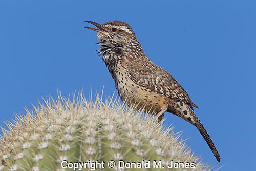 Cactus Wren (Campytorhynchus brunneicapillum)