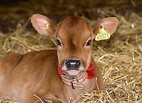 A Jersey calf lying down in straw...Copyright..John Eveson, Dinkling Green Farm, Whitewell, Clitheroe, Lancashire. BB7 3BN.01995 61280. 07973 482705.j.r.eveson@btinternet.com.www.johneveson.com