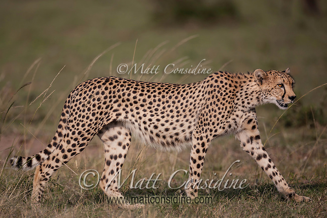 Female cheetah in mid stride hunting in grass in Kenya, Africa (photo by Wildlife Photographer Matt Considine)