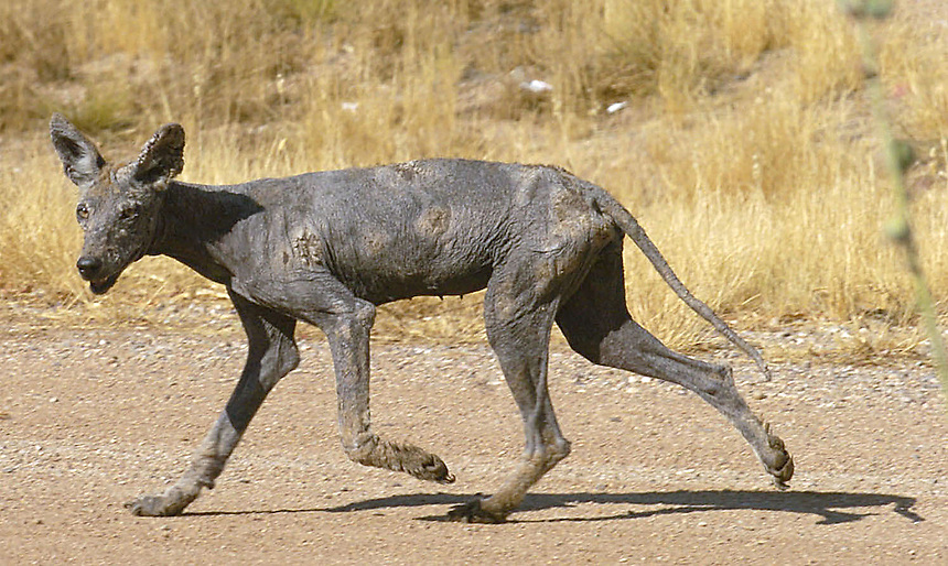 "This mysterious hairless creature walks along the road near Carlisle, AR, stumbling through the three digit desert heat. It looks like an emaciated dog ""performer"" I met at Angkor Wat in Cambodia in the '60's who would sidle up to tourists, then fall with a thud, flat on its side, acting like it was his last breath. When it got no attention, it would go to the next tourist and fall over again, ever hopeful. The strange thin animal in this photo, with piercing eyes and impressive scars, did not fall but surprisingly found energy to slink into the desert heat when a 200mm lens was pointed at it. Being a stranger there I showed the digital image to several people in the area, thinking someone would recognize it or its type, but no one had ever seen anything like it. Photo by Charles Osgood"