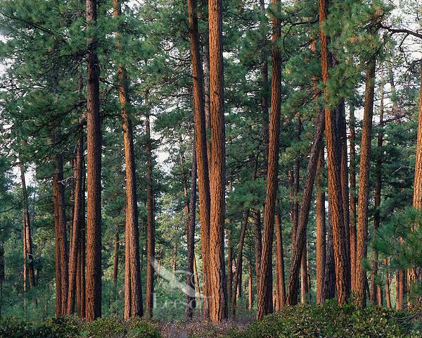 Ponderosa Pine Tree Forest.  Western U.S.