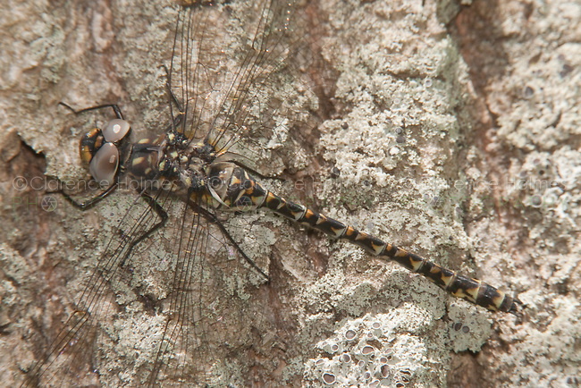 Harlequin Darner (Gomphaeschna furcillata) - Female, Harriman State Park, Stony Point, Rockland County, New York