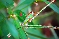 Handsome meadow katydid (it's real name!) seen in Madison County near the Florida-Georgia County Line. Absolutely beautiful, even with one missing leg!