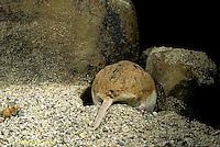 MU32-040z  Northern Grasshopper Mouse - digging - Onychomys leucogaster