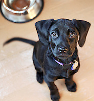 A hungry black lab puppy waits for her dinner.