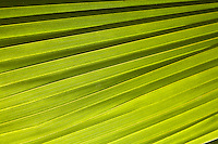 Semi abstract close up of a fan palm leaf