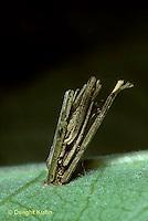 LE19-009d  Moth - casebearer larva on milkweed - larva of moth spp.