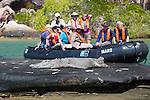 A saltwater crocodile hauled out on a rock island near King George River, Kimberly Coast, Australia
