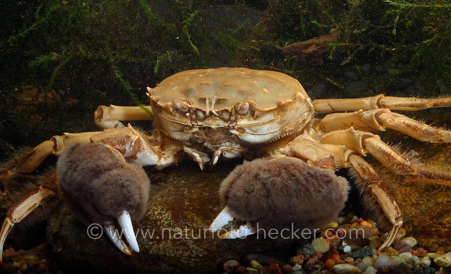 Chinesische Wollhandkrabbe, Wollhand-Krabbe, Eriocheir sinensis, Chinese mitten crab
