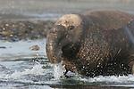 Elephant seal bull moving on beach