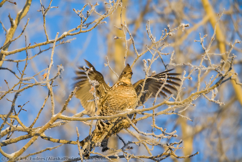 Ruffed grouse feeds in quaking aspen tree in winter, Fairbanks, Alaska