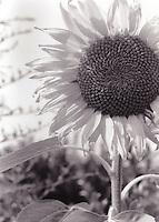 Sunflower, Md.