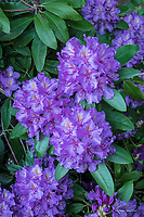 Purple rhododendron in bloom