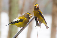 Evening Grosbeak finch birds two, pair