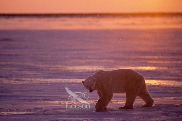 Polar Bear on ice at sunset.  Canadian Arctic.  November.