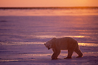 Polar Bear on ice at sunset.  Canadian Arctic.  November.