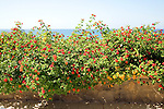 Red Sage Lantana, Spanish Flag, Lantana camera,  flowering on Mediterranean coast,  Rhodes, Greece