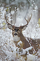 White-tailed Deer buck (Odocoileus virginianus) during snowstorm, Western U.S., Late Fall.