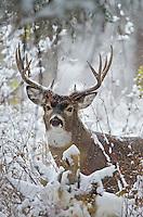 White-tailed Deer buck (Odocoileus virginianus) during snowstorm, Western U.S., Late Fall.