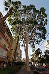 Israel, Eucalyptus tree (Eucalyptus Citriodora ) in Petach Tikvah