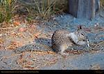California Ground Squirrel Foraging in Autumn, Otospermophilus beecheyi, Glacier Point, Yosemite National Park