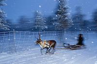 A reindeer sledding tour experience with sami reindeer herdsmen at the Reindeer Lodge in -25 degrees C, run by Nutti Sámi Siida, near the Icehotel, in Jukkasjärvi, Lapland, Laponia, Norrbotten county, Sweden, Reindeer, Rangifer tarandus