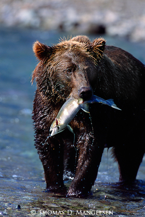 Four species of salmon-sockeye, chum, king, and pink-return to their native spawning grounds at the mouth of this remote Alaskan river, making for a seasonal treat for coastal brown bears who congregate along the beaches and shores to catch their fill.