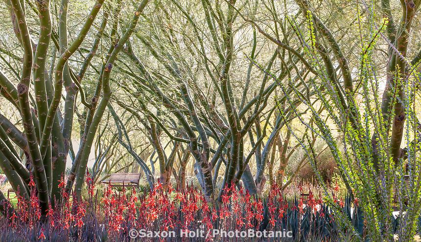 'Desert Museum' Palo Verde trees with green bark; Cercidium or Parkinsonia hybrid with Aloe and Ocotillo; Sunnylands garden, Southern California
