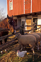 AJ3276, sheeps, Daniel Boone Birthplace, Pennsylvania, Sheep, chicken and horse outside red barn at Daniel Boone Homestead in Birdsboro in the state of Pennsylvania.