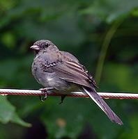 Adult female slate-colored junco