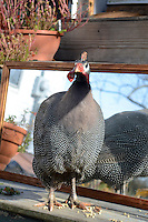 "Helmeted Guinea fowl, ""gleanies"" on porch near mirror, Maine USA"