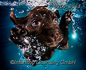 REALISTIC ANIMALS, REALISTISCHE TIERE, ANIMALES REALISTICOS, dogs, paintings+++++SethC_Ruger_IMG_1720v3BOOK3flatg,USLGSC63,#A#, EVERYDAY ,underwater dogs,photos,fotos ,Seth