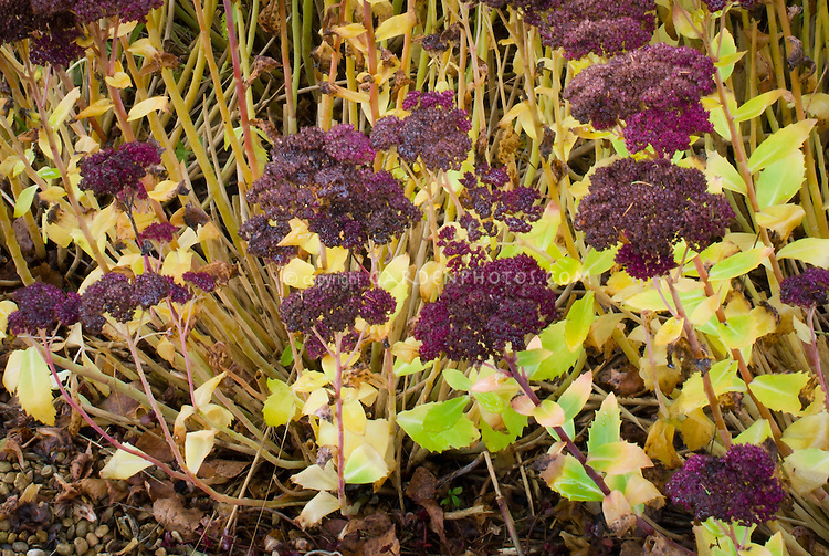 Sedum spectabile cultivar in late November autumn