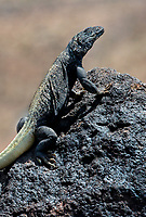 414050008v a wild adult male chuckwalla sauromalus obesus perches on a lava rock near darwin canyon in inyo county california