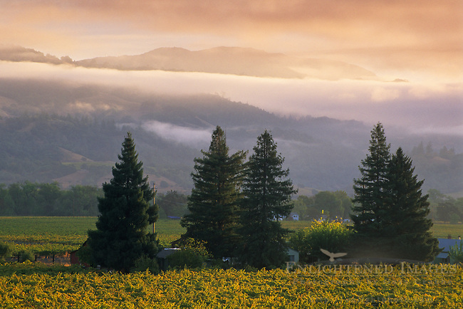 Morning light on vineyards, Geyserville, Alexander Valley, Sonoma County, California