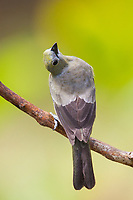 Palm Tanager, Thraupis palmarum