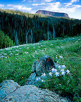 Evening light on Columbines (Aquilegia caerulea) in bloom in the Flat Tops Wilderness; Routt National Forest, CO