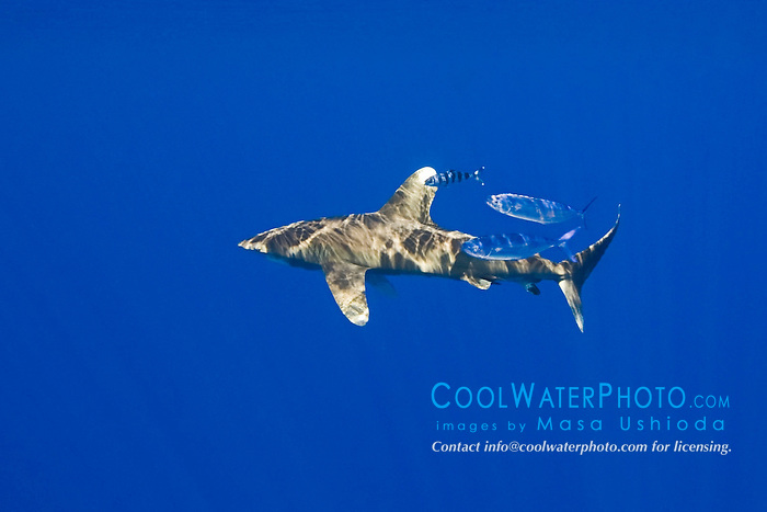 oceanic whitetip shark, Carcharhinus longimanus, accompanied by a pilot fish, Naucrates ductor, and a pair of pompano dolphinfish, Coryphaena equiselis, Kona Cost, Big Island, Hawaii, USA, Pacific Ocean