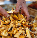 male hands with wild harvested chanterelle mushrooms at the Portland, Oregon Farmers Market