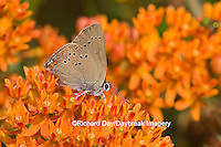 03152-006.01 Coral Hairstreak (Satyrium titus) on Butterfly Milkweed (Asclepias tuberosa) Marion Co. IL