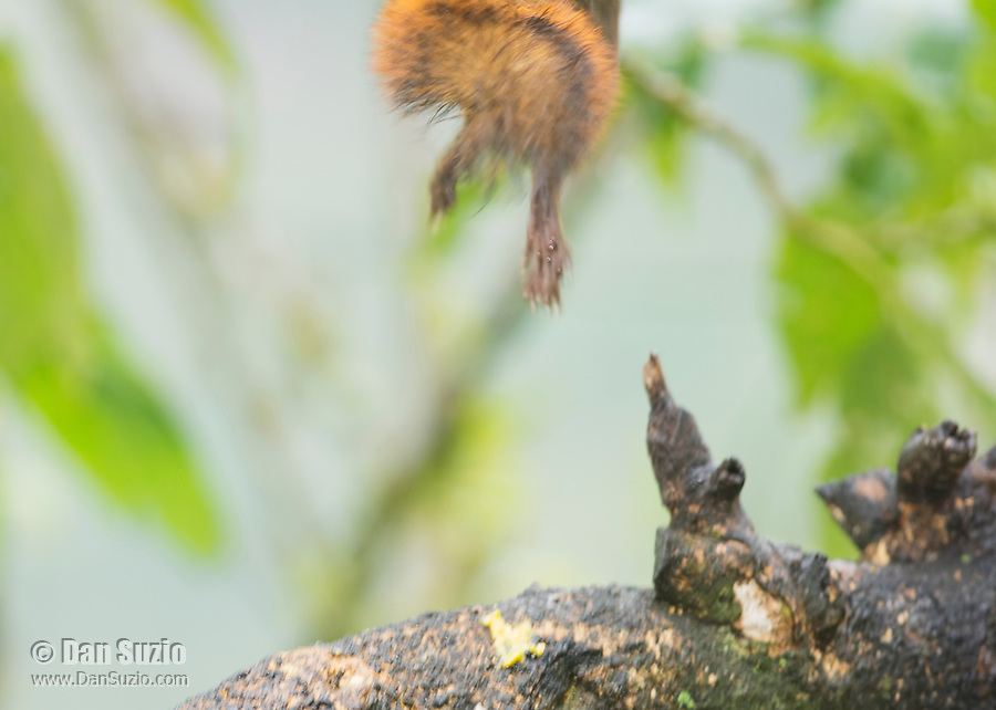 Red-tailed Squirrel, Sciurus granatensis, leaps from a branch in Tandayapa Valley, Ecuador