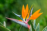 Closeup of bird of paradise flower photographed in Kihei, Maui