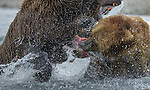 Brown bears fishing, Katmai National Park, Alaska, USA