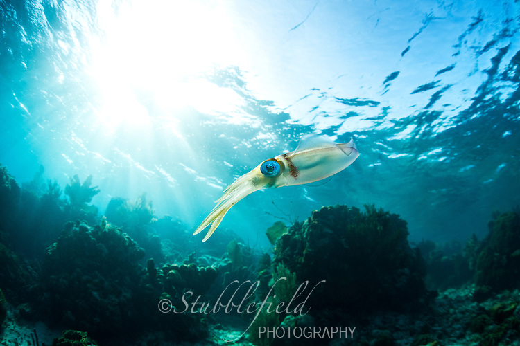 Caribbean Reef Squid (Sepioteuthis sepioidea), hovering over a tropical coral reef off the island of Roatan, Honduras.