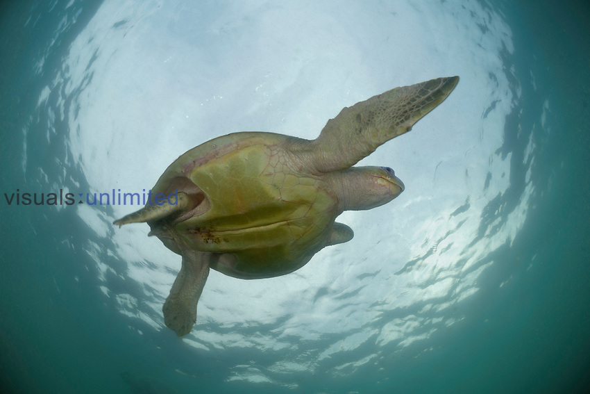 Female Olive Ridley Sea Turtle (Lepidochelys olivacea) swimming from the open Pacific Ocean towards the beach of Ostional, Costa Rica for an arribada or mass nesting event.